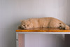 DSC02851 (Wang Foto - 0969 92 97 91) Tags: cat cute pet photography animal cuties kitten kitty lovely tiny mycat babycat sonya7r carlzeiss scottishfold britishshorthair scottishcat catphoto cutecats wangfotovn
