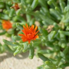 Orange On Green [Velj Losjni - 10 August 2017] (Doc. Ing.) Tags: 2017 losinj croatia summer seaside velilosinj square plant flower kvarnergulf kvarner nature orange
