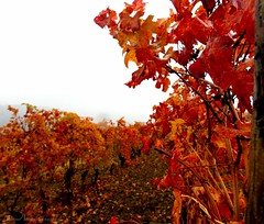 Il meritato riposo del Barolo (motonya) Tags: vino vigneto barolo langhe autunno nebbia autumn wine italy fog grape leaves uva