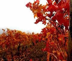 Il meritato riposo del Barolo (motonya) Tags: vino vigneto barolo langhe autunno nebbia autumn wine italy fog grape leaves uva