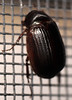 10.2 mm scarab beetle (ophis) Tags: coleoptera polyphaga scarabaeoidea scarabaeidae melolonthinae sericini serica sericageorgiana scarabbeetle