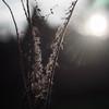 Silver Seeds (ursulamller900) Tags: pentacon2829 seeds silver bokeh mygarden bienenfreund phacelia