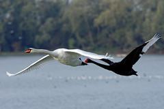 DSC_2392_DxO - Cygnes tuberculés à Saclay (Berzou) Tags: cygnetuberculé bird oiseau nature naturebynikon fantasticnature nikond7200 tamron150600 saclay