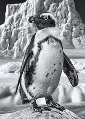 African penquin (FotoGrazio) Tags: animals antartica penquin waynegrazio waynesgrazio animal beak bird birds blackandwhite closeup cold composite composition feathers fins flightlessbirds fotograzio frigid ice mammal nature scenic snow webbedfeet wildlife