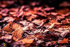 Autumn Leefs (brunomeida27) Tags: leefs folhas autumn outono fall colors 100mmf28 canon70d canon canon100mm deadleefs orange laranja