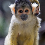Mother squirrel monkey with baby thumbnail