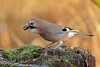 Eurasion Jay (david.england18) Tags: eurasionjay jay monkeynuts localpark queensparkheywood canon7dmkll canonef300mmf4lisusm birdsuk birdsfeeding