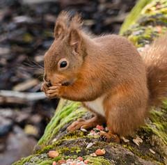 0091 (1276) - Red Squirrel (Zana Benson) Tags: redsquirrel scotland