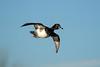 Ring-Necked Duck - Flight (BernieErnieJr) Tags: ringneckedduck duck flight flying sunshine colorado coloradowildlife wildlife frontrange greatphotographers teamsony rockymountains sonya9 sonyfe100400mm bernie duhamel