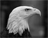intensity in black and white (marneejill) Tags: bald eagle portrait head eye intense