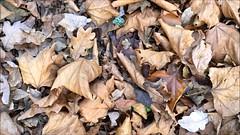 London Plane (Platanus x hispanica) - leaf litter close up - December 2017 (terrencepickles) Tags: london plane platanus x hispanica leaf litter close up december 2017