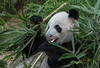 The Giant Panda Kai Kai (melvhsc100) Tags: giantpanda kaikai china singapore singaporeattractions singaporenicescenery zoo greenery wildlife feeding extinctanimals nikon7200 nature tamron150600mm