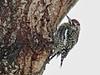 Yellow-bellied Sapsucker female 20171209 (Kenneth Cole Schneider) Tags: miramar browardcountybirds backyard