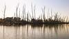 Bunch of sticks (locusmeus) Tags: 365 autumn water deadtrees reflection biesbosch netherlands