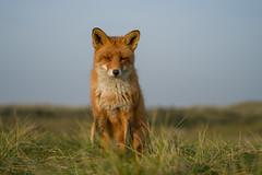 DSC00468 (Geert Rooyackers) Tags: redfox fox sonya7rii a7rii vulpesvulpes