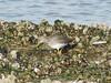 Redshank (_jons_) Tags: hilbreisland hilbre nature naturephotography wildlife wildlifephotography birds birding birdingphotography birdwatching birdphotography