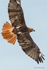 Back view (Earl Reinink) Tags: hawk bird flight animal raptor wings earl reinink earlreinink eaadhdaaia redtailedhawk