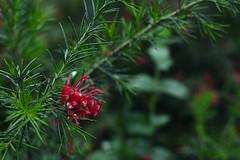 (jo.alvarezv) Tags: flores flowers naturaleza nature florroja redflower verde green
