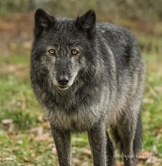 ND5_9998.jpg Eyes of a Wolf (Wayne Duke 76) Tags: lobo wolf mammal fur packanimal
