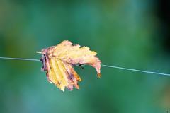 prisonnière (karine_cattier) Tags: cmwd leaf automn smileonsaturday onesingleleaf 7daysofshooting simplicity focusfriday