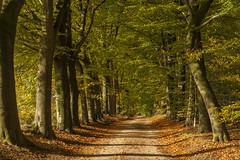 Herfst - Utrechtse heuvelrug (mariandeneijs) Tags: bos bomen boom tree trees herfst autumn utrechtseheuvelrug