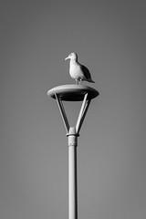 On Top of the World (Nicholas Erwin) Tags: hamptonbeach seagull gull animal bird wildlife lamp streetlight contrast blackandwhite monochrome bw nikon d610 nikkor 70200f4vr hampton newhampshire nh unitedstatesofamerica usa america fav10 fav25