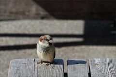 Canadian Sparrow Wants Cookies (meniscuslens) Tags: bird canada sparrow canadian bench