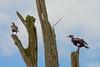 Periyar Duo (Bruce Poole) Tags: brucepoole kerala 2017 periyar periyarnationalpark indianshags shags indiancomorants comorants twocomorants fishingbirds phalacrocoraxfuscicollis nature naturereserve thekkady