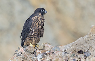 Peregrine Falcon waiting for an opportunity