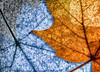 fall - winter maple leaves (marianna_a.) Tags: p1630076 leaf leaves cryogenic frozen air bubbles winter autumn fall macro flora foliage mariannaarmata maple texture
