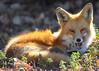 BDP_6240 (Bluedharma) Tags: bluedharma colorado coloradophotographer coloradoshooter fox 2017 paulgordon