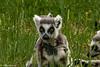 IMG_6185-1 (helensherratt1) Tags: animal babyanimal madagascar ywp mammal primate ringtailedlemur