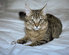 Josie the Pixie-Bob (davidwoganphoto) Tags: 160 1n 2470 540 rs analogkodak bob canon cat ef eos ez f4 film flash josie kitten pixie portra portrait tabby