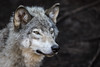 Gray Wolf-1398 (ChadBarry) Tags: parcomega captive graywolf greywolf wolf