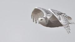 DSC_7882_edit (Hanzy2012) Tags: d500 afsnikkor500mmf4difedii toronto ontario wildlife canada snowyowl buboscandiacus harfangdesneiges