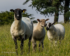 Peggy and the girls (JKmedia) Tags: ears sheep 3 three grass meadow tree summer tags pegs animal farm 15challengeswinner