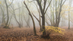 Forgotten Promises (Damian_Ward) Tags: ©damianward damianward beech trees chilterns chilternhills thechilterns fog mist buckinghamshire wood forest woodland autumn autumnal fall oujours de magnifiques photos