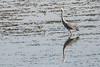 D50_6321.jpg (ManuelSilveira) Tags: fauna aves garcareal óbidos leiria portugal pt