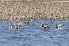 NORTHERN SHOVELERS (nsxbirder) Tags: northernshoveler mallard cowanlake clintoncounty