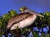 Baby Huey (bob in swamp) Tags: bobpeterson kayak mangrove munyonisland pelican paddling kayaking redmangrove johnmacarthurbeachstatepark palmbeachcounty florida northpalmbeach brownpelican juvenile pelecanusoccidentalis taxonomy:binomial=pelecanusoccidentalis nikon coolpix