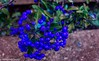 Growing On The Wall (M C Smith) Tags: abstract blue berries wall pentax k7 green leaves