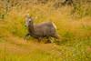 It's getting deep here (ChicagoBob46) Tags: rockymountainbighornsheep bighornsheep sheep lamb yellowstone yellowstonenationalpark nature wildlife ngc