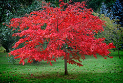 IMG_0592 (bob_rmg) Tags: perrow arboretum tree autumn colour leaves bedale thorp maple red