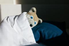 Wolfi erwacht im ungarischen Morgenlich (WolfiWolf-presents-WolfiWolf) Tags: wolfiwolf wolf sunlight morning bed sleeping master eneamaemü conductor creator he i butlers meeenbudapest blue blau eyes derschönste derbeste dereinzigartigste