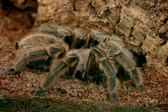 Mexican Chilli Rose Tarantula (Sybalan,) Tags: arachnids spider edinburgh butterflyhouse beautiful hairy 8legs indoors