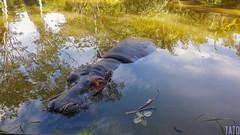 Victoria (Tato Avila) Tags: colombia colores cálido cielos reflejo animal vida naturaleza nikon agua antioquia medellín haciendanapoles hipopótamo