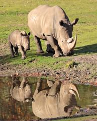 white rhino Burgerszoo BB2A6617 (j.a.kok) Tags: rhino rhinocerosunicornis neushoorn witteneushoorn breedlipneushoorn whiterhino animal africa afrika burgerszoo mammal herbivore zoogdier dier wiesje izala rhinoceros