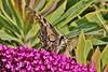Papilio machaon (Hugo von Schreck) Tags: hugovonschreck canoneos5dmarkiii papiliomachaon schwalbenschwanz butterfly schmetterling falter macro makro insect insekt tamronspaf180mmf35dildifmacro11