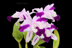 Cattleya intermedia var. aquinii 'Delilah' (Harlz_) Tags: cattleyaintermedia varaquinii delilah orchid species cattleya flower bloom image