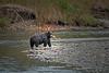 Dusk Fishing (Spectacle Photography) Tags: grizzly grizzlybear grizzlybears bear ursusarctos bellacoola valley salmonrun salmon wildlifewatching dusk